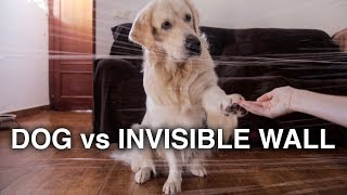 Dog vs Invisible Wall