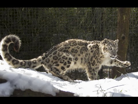 Snow Leopards​ At The San Diego Zoo​ See Snow For The First Time | San Diego Union-Tribune