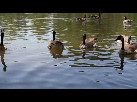 Cute Geese Swimming