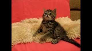 Кошечка на продажу. Питомник Greycat www.grey-cats.ru