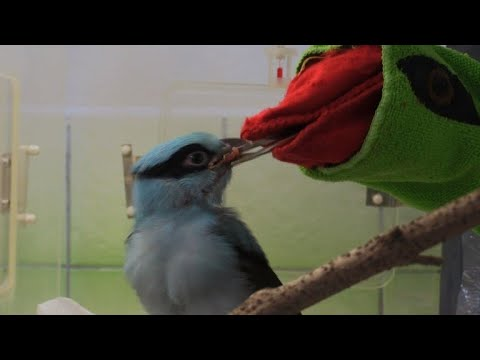 Nearly extinct Javan green magpies thrive at Prague zoo
