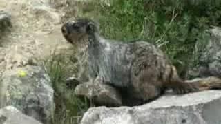Dame marmotte