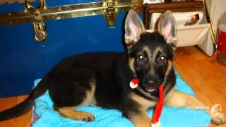 "German Shepherd Male Puppy To Adult ""briley"""