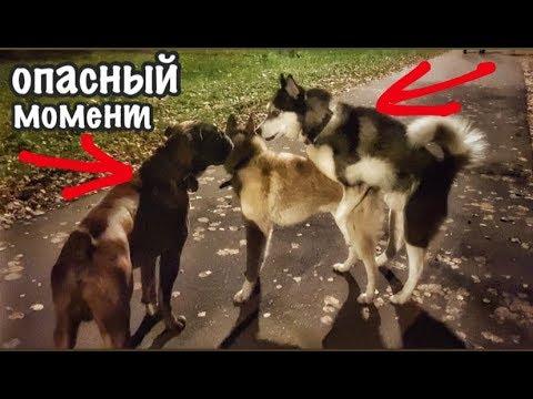 БОКСЁР ХАСКИ ЛАЙКА / ПОВЕДЕНИЕ ТРЁХ КОБЕЛЕЙ
