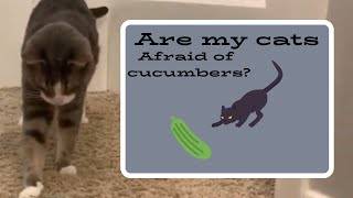 Are MY CATS afraid of CUCUMBERS?