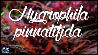 HYGROPHILA PINNATIFIDA | Ornamentale Aufsitzerpflanze für besondere Akzente | AquaOwner