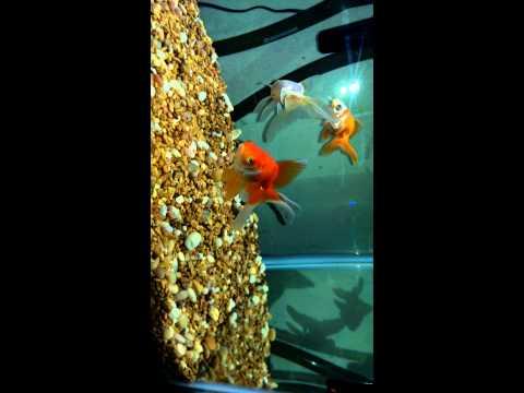 Goldfish Ich Treatment