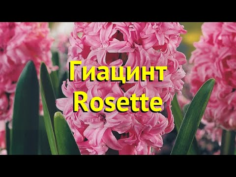 Гиацинт Розетта. Краткий обзор, описание характеристик, где купить луковицы Rosette