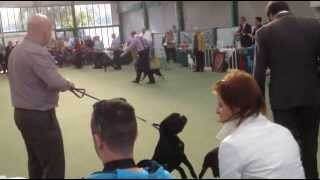 Staffordshire Bull Terrier Club Parade Of Champions 2013