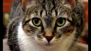 Порода кошек.  Бразильская короткошерстная кошка.Естественная порода, т.е природа создала сама