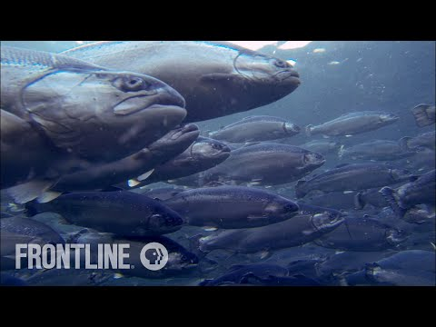 Norway's Salmon Farming Crisis | The Fish on My Plate | FRONTLINE