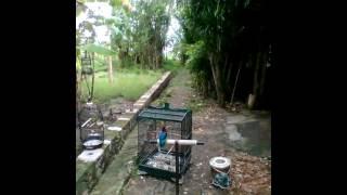MELATIH TENGKEK RAJA UDANG JINAK ( Free Fly Lamongan )