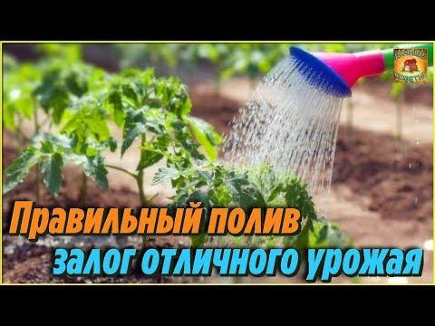 Как часто и как поливать помидоры в теплице в зависимости от фазы роста. Дачные советы