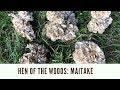 Foraging Hen of the Woods Mushrooms
