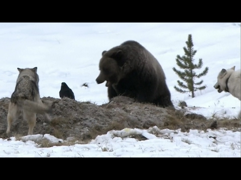 World of Predators: Encounters of Bears and Wolves
