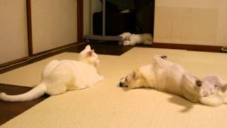 調子に乗りすぎた犬を華麗に投げ飛ばす「柔道猫」が話題に