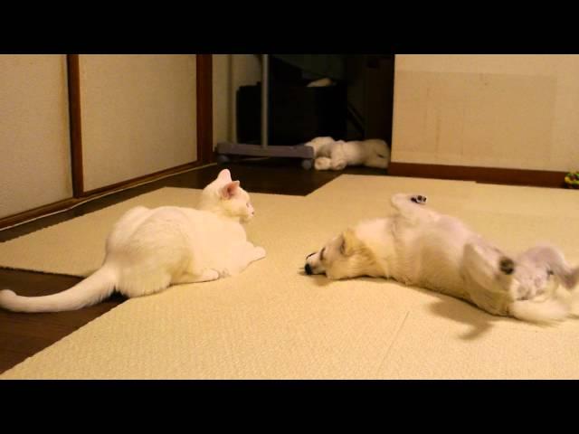 犬を投げ倒す猫(judo cat)