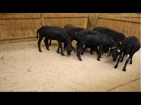 Curso Instalações para Ovinos - Cria