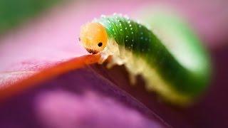 оочень жирная гусеница