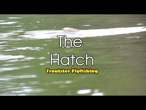 🎣 The mayfly hatch - Huge Trout Eating Mayflies