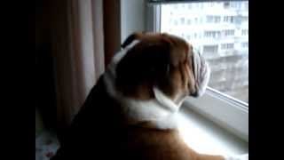 Английский бульдог Клёпа смотрит в окно
