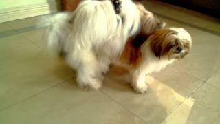 Repeat youtube video Shih tzu mating w/o shooter