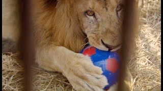 Preview: Saving the Lions
