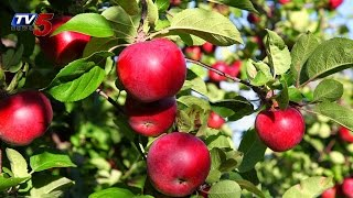 Apples Made in Vizag | Apple cultivation in AP : TV5 News