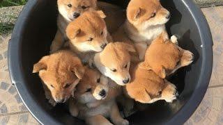 【おもしろ動物ハプニング映像】詰め込みいっぱい!ワンコのバケツ盛り.