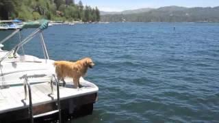 Golden Retriever Dock Jumping And Frisbee Retrieving