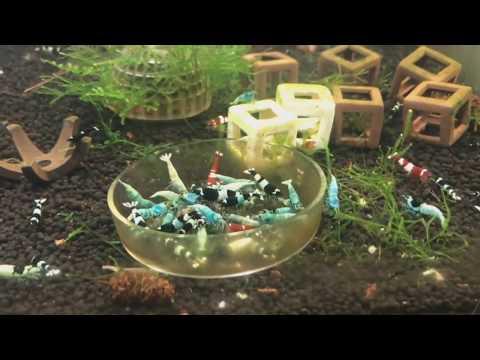 Синие и голубые аквариумные КРЕВЕТКИ. ТИГРЫ и ТАЙВАНСКИЕ ПЧЕЛЫ. 2 часть