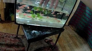 видео Рыбки данио – как отличить самку от самца для размножения?