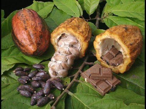 Cómo sembrar y convertir el Cacao en Chocolate - TvAgro por Juan ...