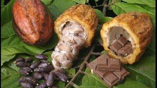 видео Cacao