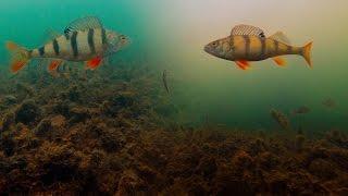 Ловля на жерлицы, Подводное видео. Реакция окуня на живца, щука в траве. Зимняя рыбалка