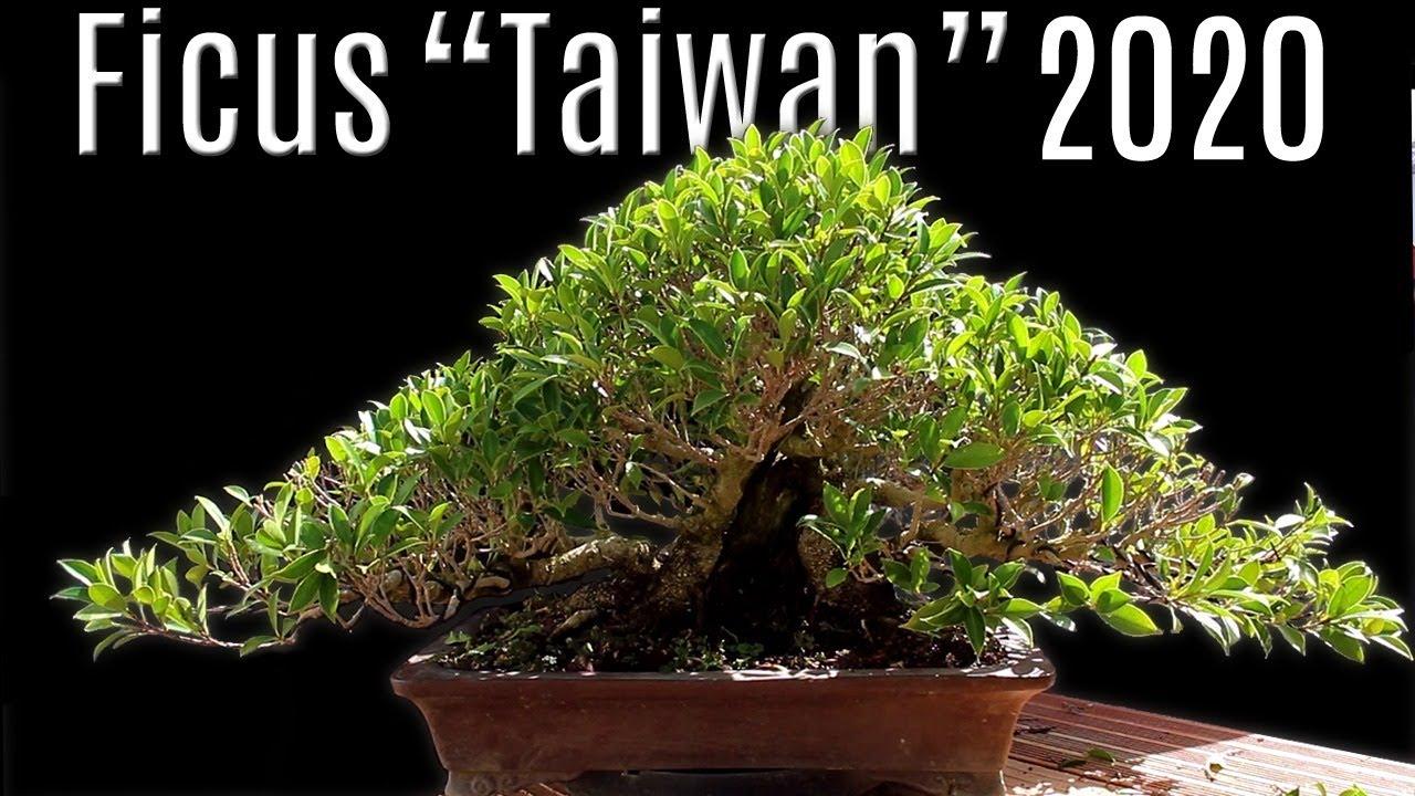 Fusión De 11 Ficus Ficus Taiwán Actualización 2020 Youtube
