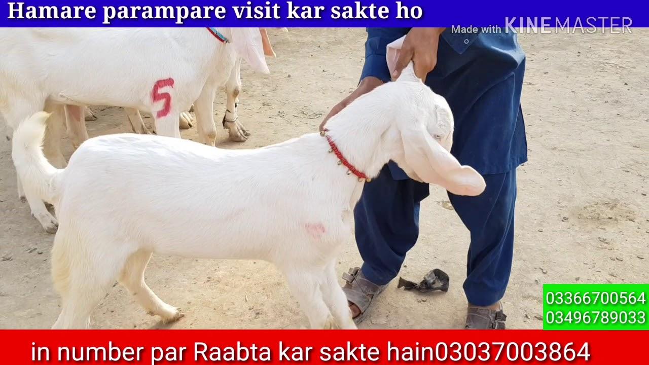 Rajanpuri no 1 breeder | gulabi breeder best for Goat Farm