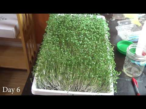 How to Grow Broccoli Microgreens at Home, Start to Finish