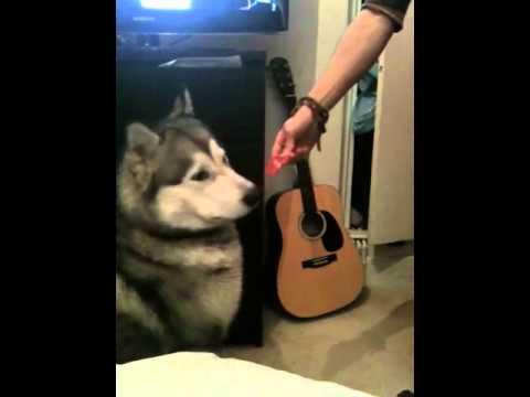 Kenzo Alaskan Malamute tricks