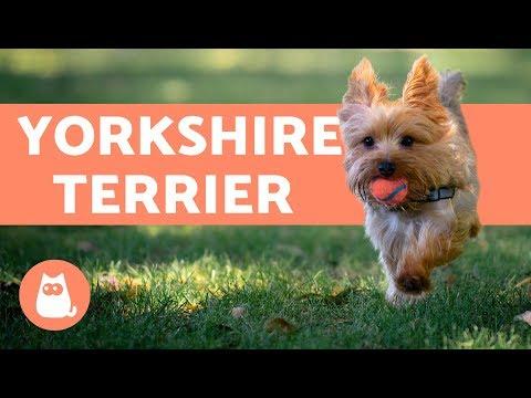 YORKSHIRE TERRIER - Características, cuidados e adestramento