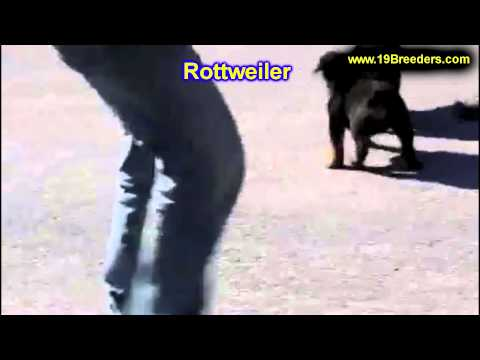 Rottwieler, Puppies, For, Sale, In, Philadelphia, Pennsylvania, PA, Borough, State, Erie, York
