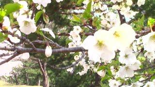 Цветущая Дикая Вишня и Магнолия,Красивая Весна и Природа в Южной Кореи!Spring in South Korea.