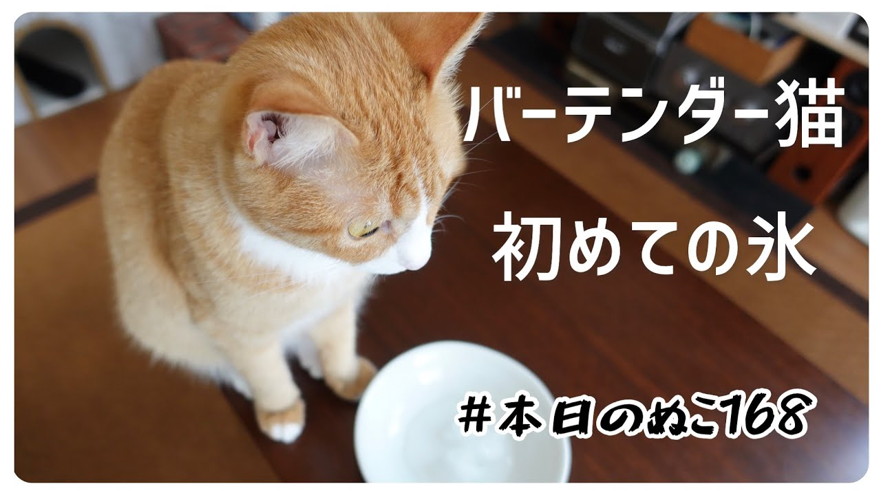 本日のぬこ168【バーテンダー猫、初めて氷を触る】