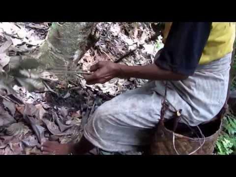 Harvesting Nutmeg