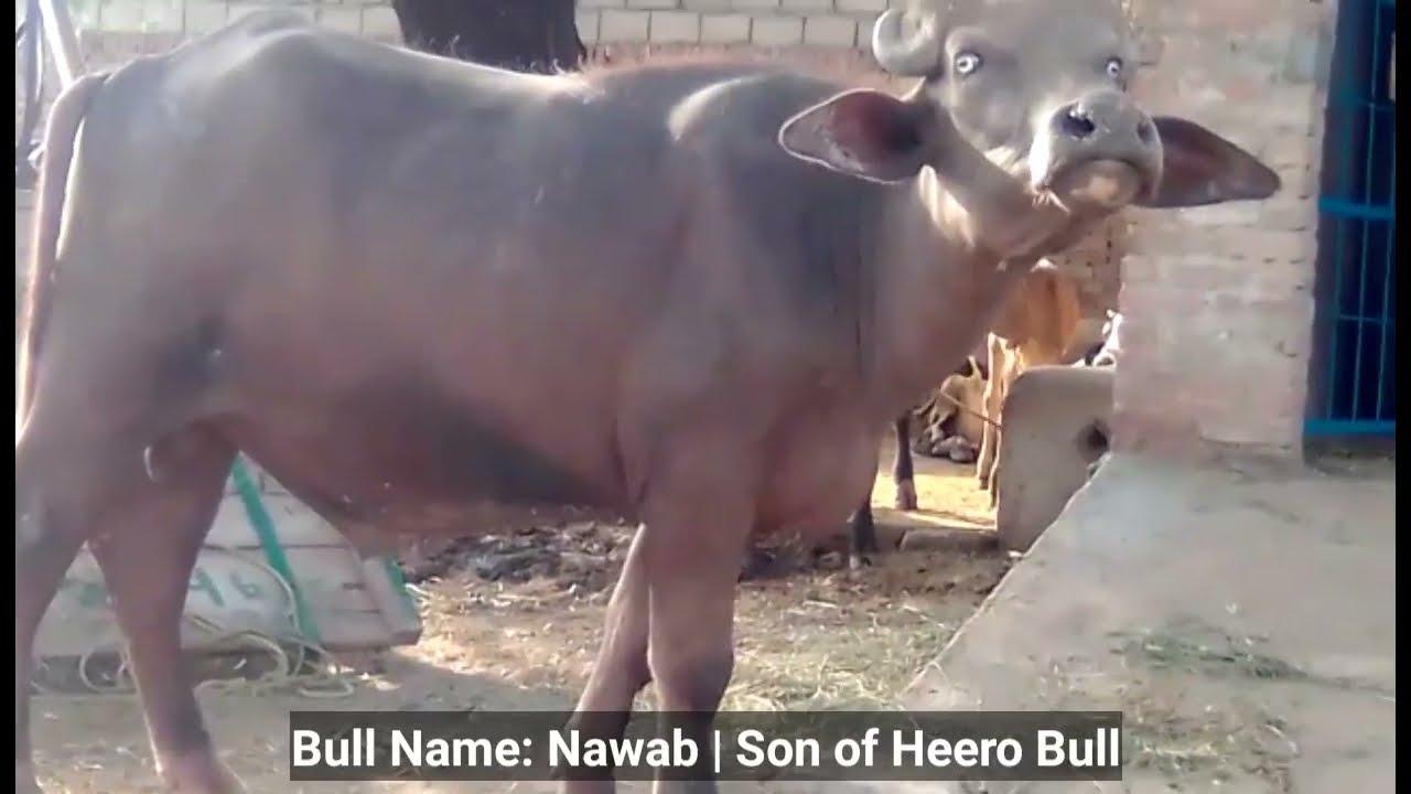 Bull Name Nawab Son of Hero Bull | MashaAllah Owner Ch Arif Khan
