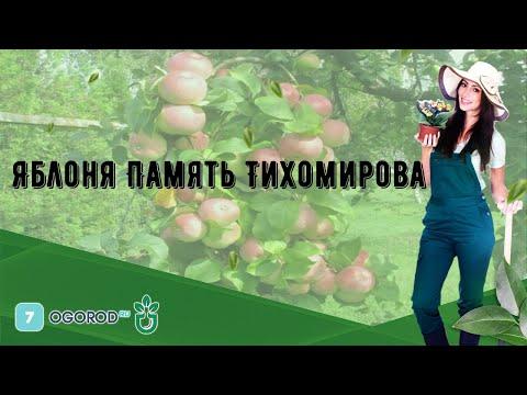 Яблоня Память Тихомирова