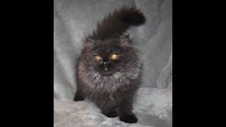 CFA shaded Chocolate Smoke Male Persian Kitten