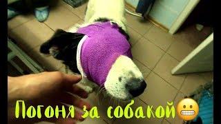 Погоня за собакой! Слепой пес прыгает с машины.