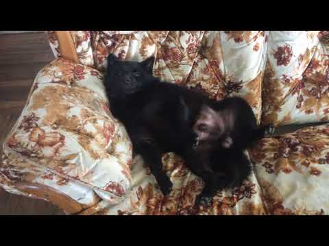 Schipperke Dog Napping on Sofa