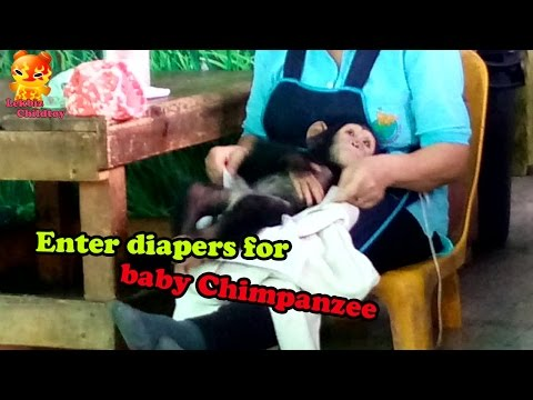 Enter Diapers For Baby Chimpanzee @Samutprakarn Zoo